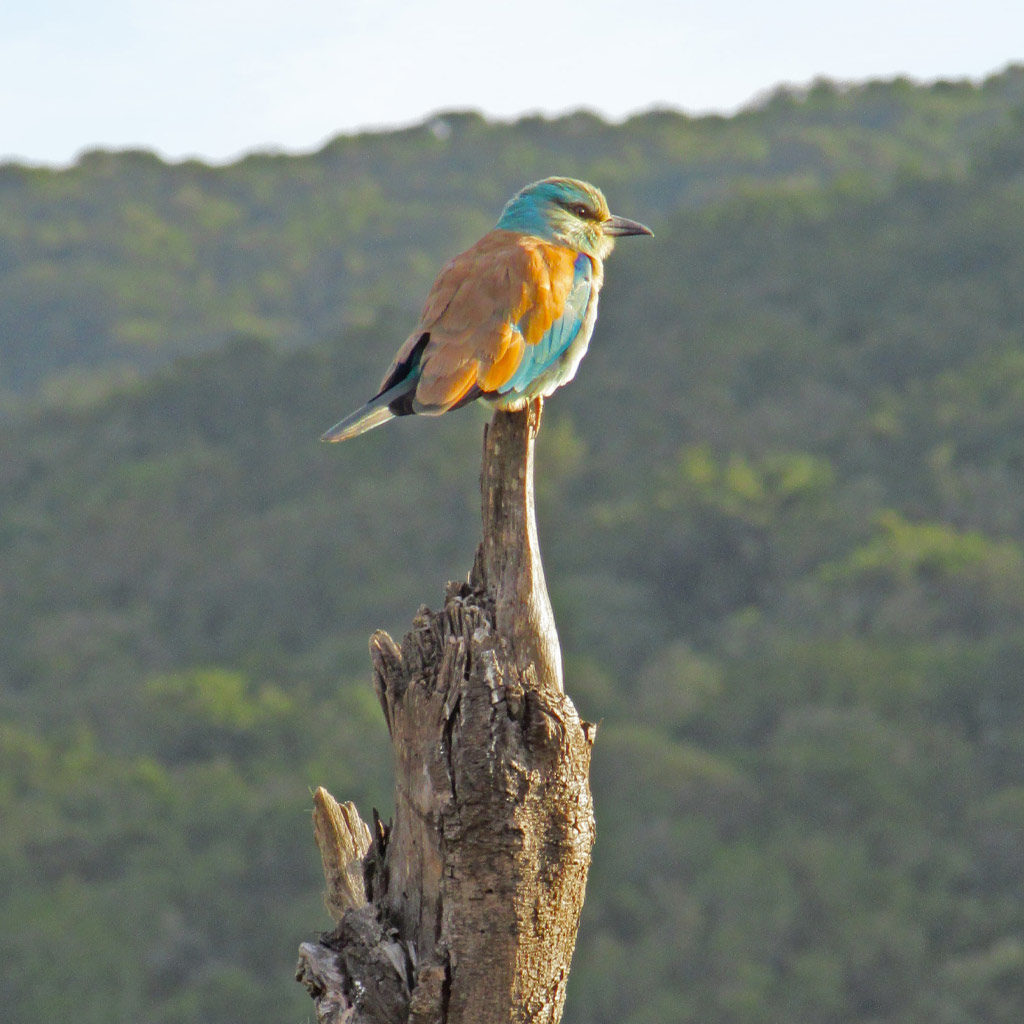 Hopewell-Private-Game-Reserve-SafariEuropean-Roller